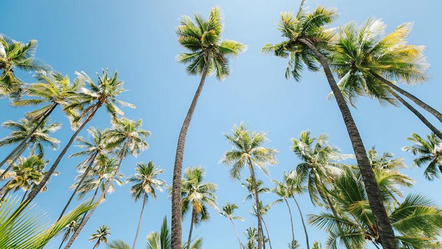 HawaiiPalmTrees