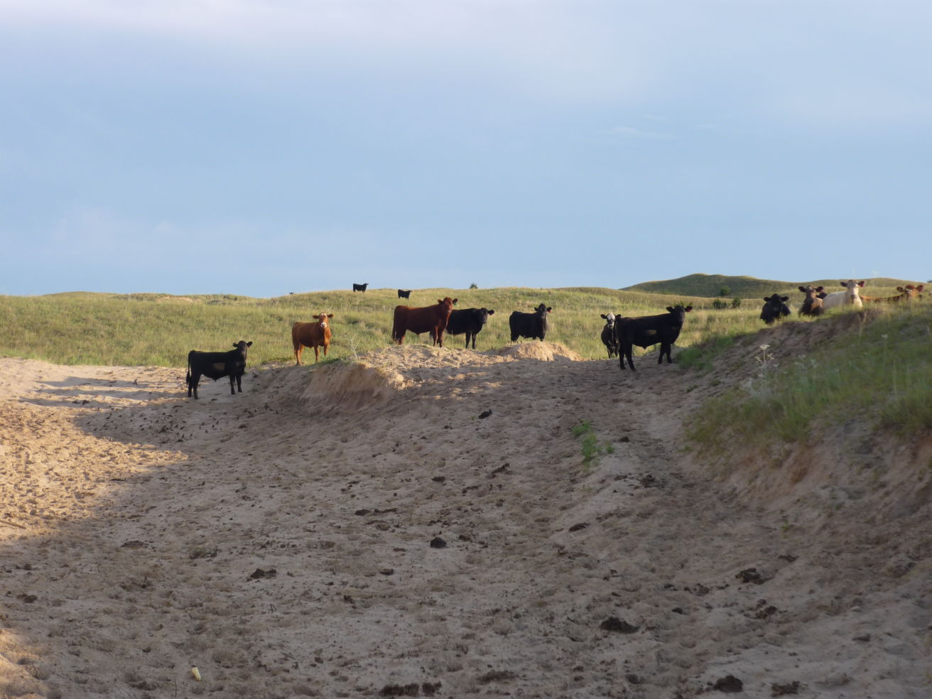 Nebraska Sandhills cattle