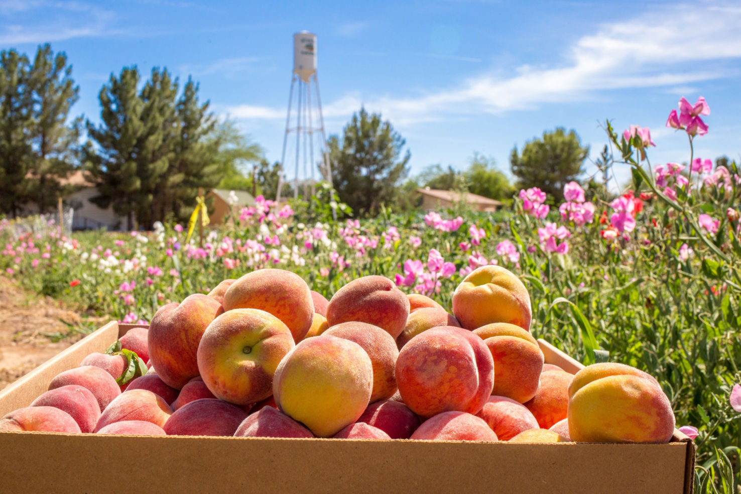 Arizona Schnepf Farms Peach Festival