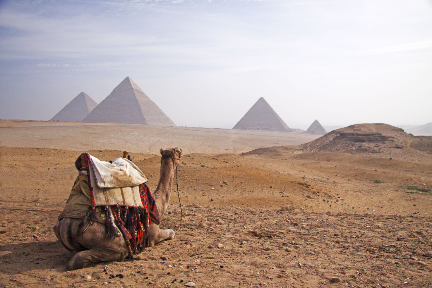 Camel contemplating the pyramids of Egypt