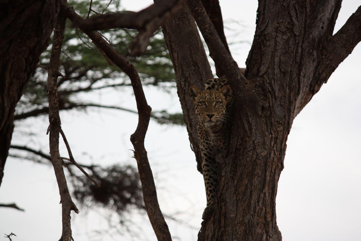 ExitIntSafari_Cheetah_2