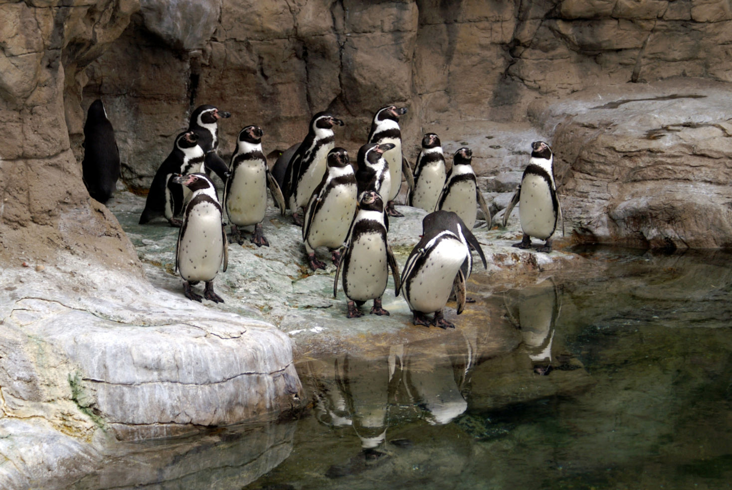 Group of Pengiuns at the St. Louis Zoo
