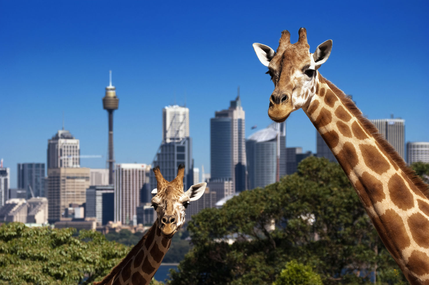 Two giraffes in Taronga Zoo Sydney in front of skyline