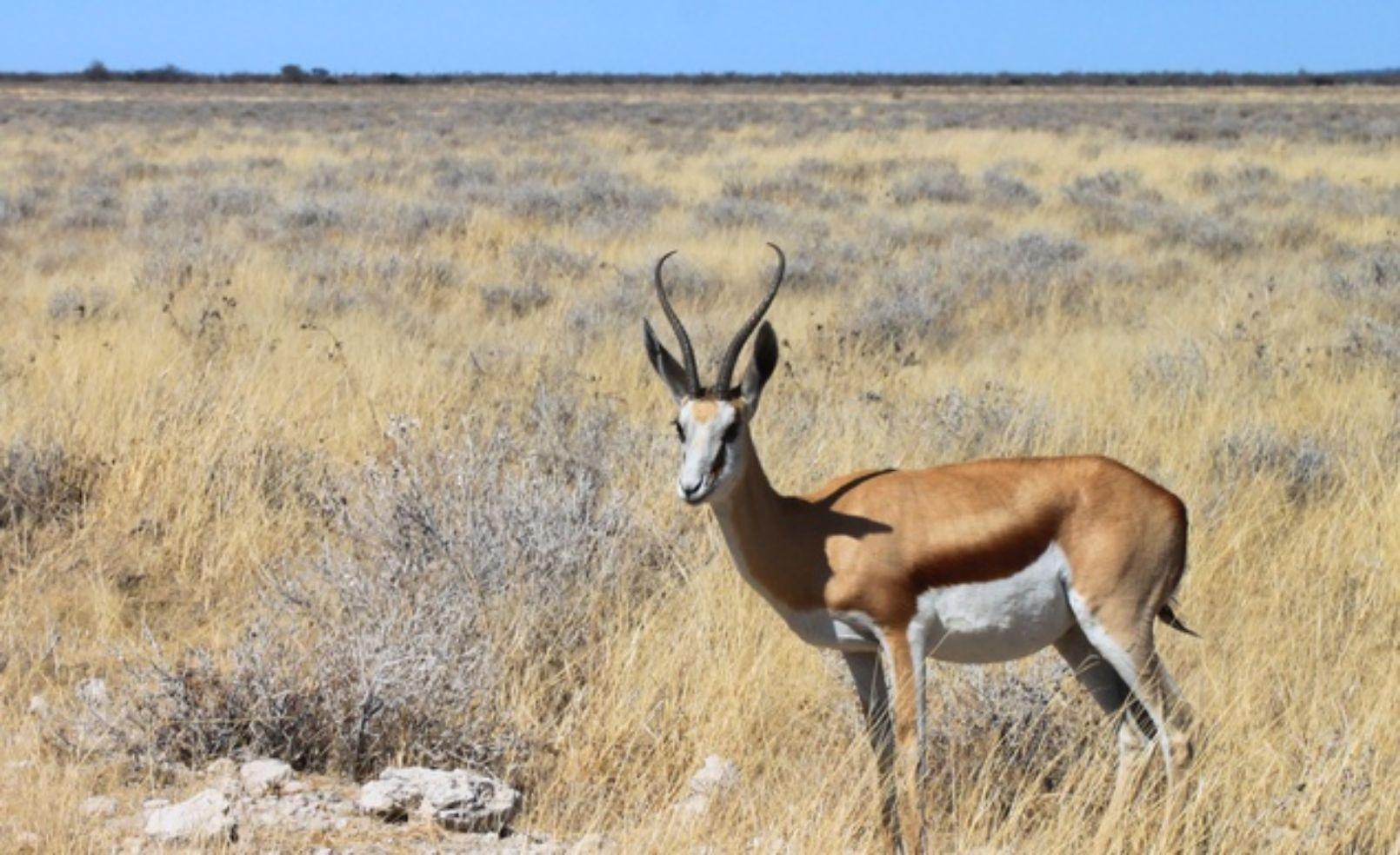 Impala in Namibia's Etosha National Park