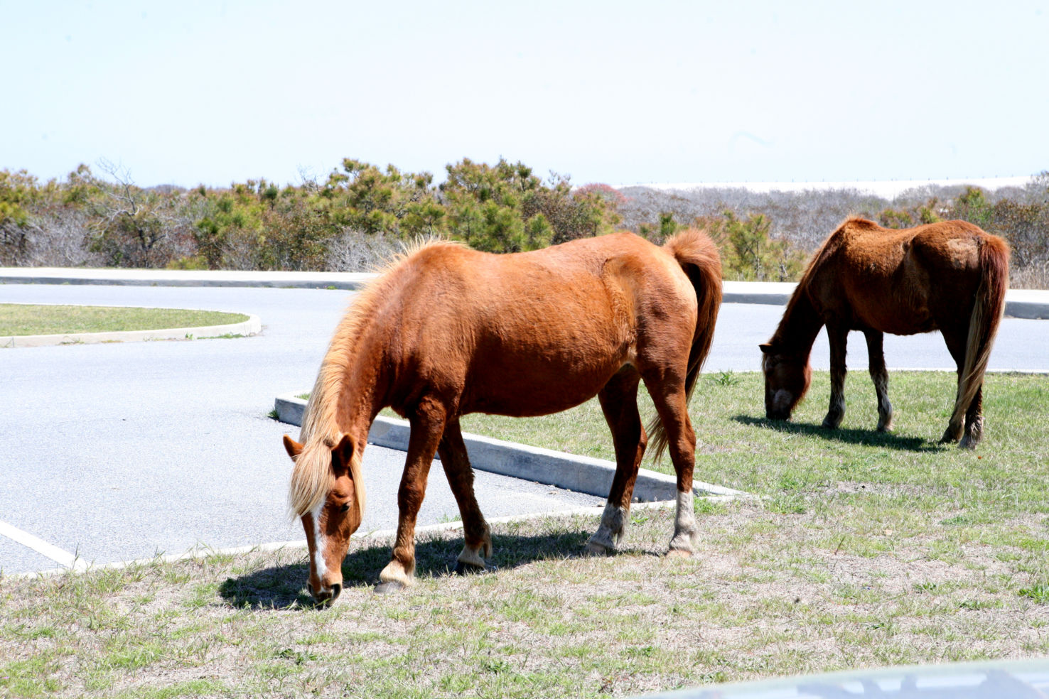 Assateague's horses, Maryland