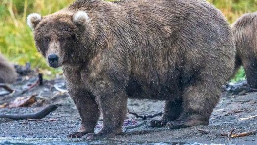 It's Fat Bear Week in Katmai National Park tumbnail