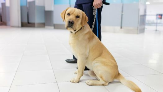 Specially-trained dogs are dispatched to detect COVID-19 in airline passengers tumbnail