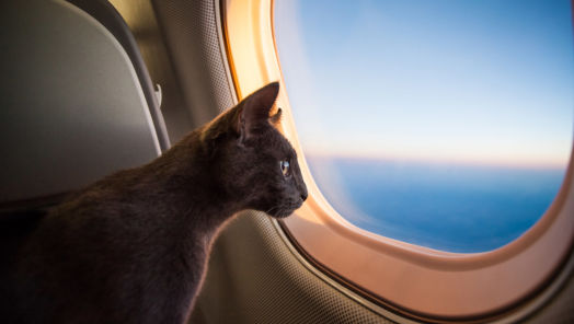 """Emotional Support Animals"" Take to the Skies tumbnail"