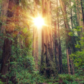 A view of the sun shining through giant redwoods at Redwoods National Park.