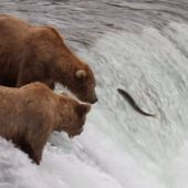 Alaska Brown Bears at Katmai National Park from Explore.org webcam