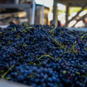 Freshly picked grapes at Booker Vineyard