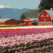 gardenrss_Skagit_Valley_Tulips_Washington_State