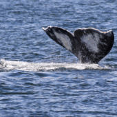 A view of a gray whale's tail in the ocean