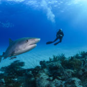 A diver swims near a tiger shark