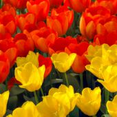 Tulips- keukenhof gardens-lisse, holland