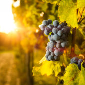 Vineyard Grapes With Sun