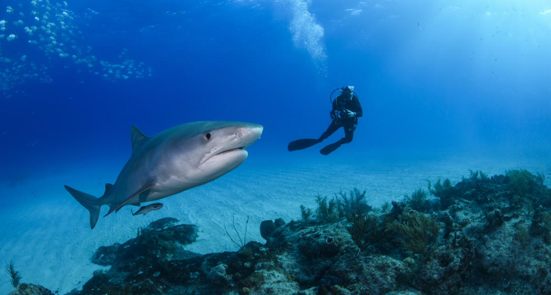 Where to Swim With Sharks (Really)