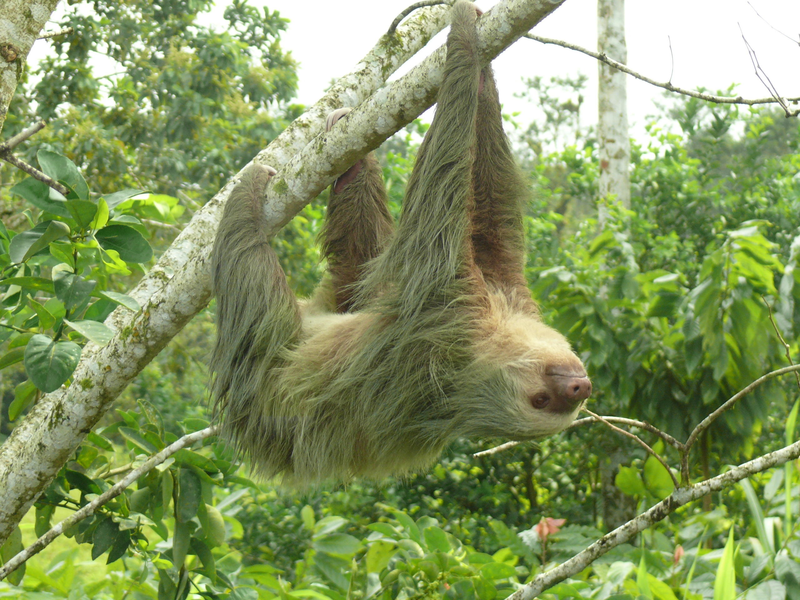 A curious sloth in Costa Rica