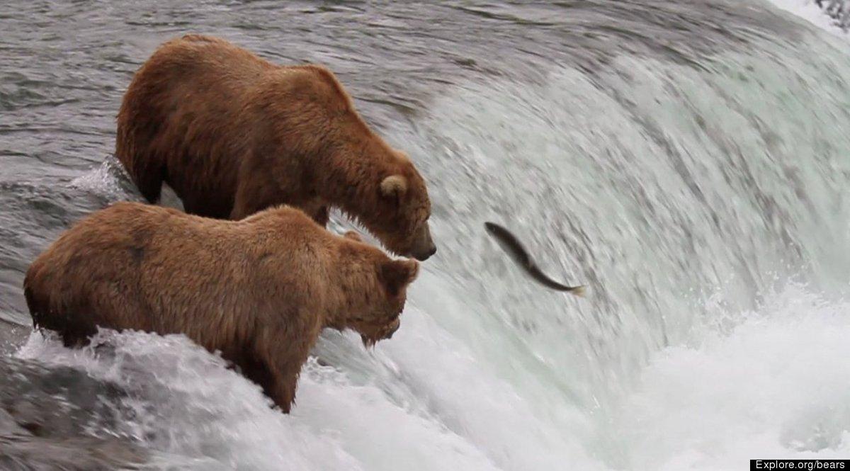 Alaska Brown Bears at Katmai National Park from Explore.org webcam