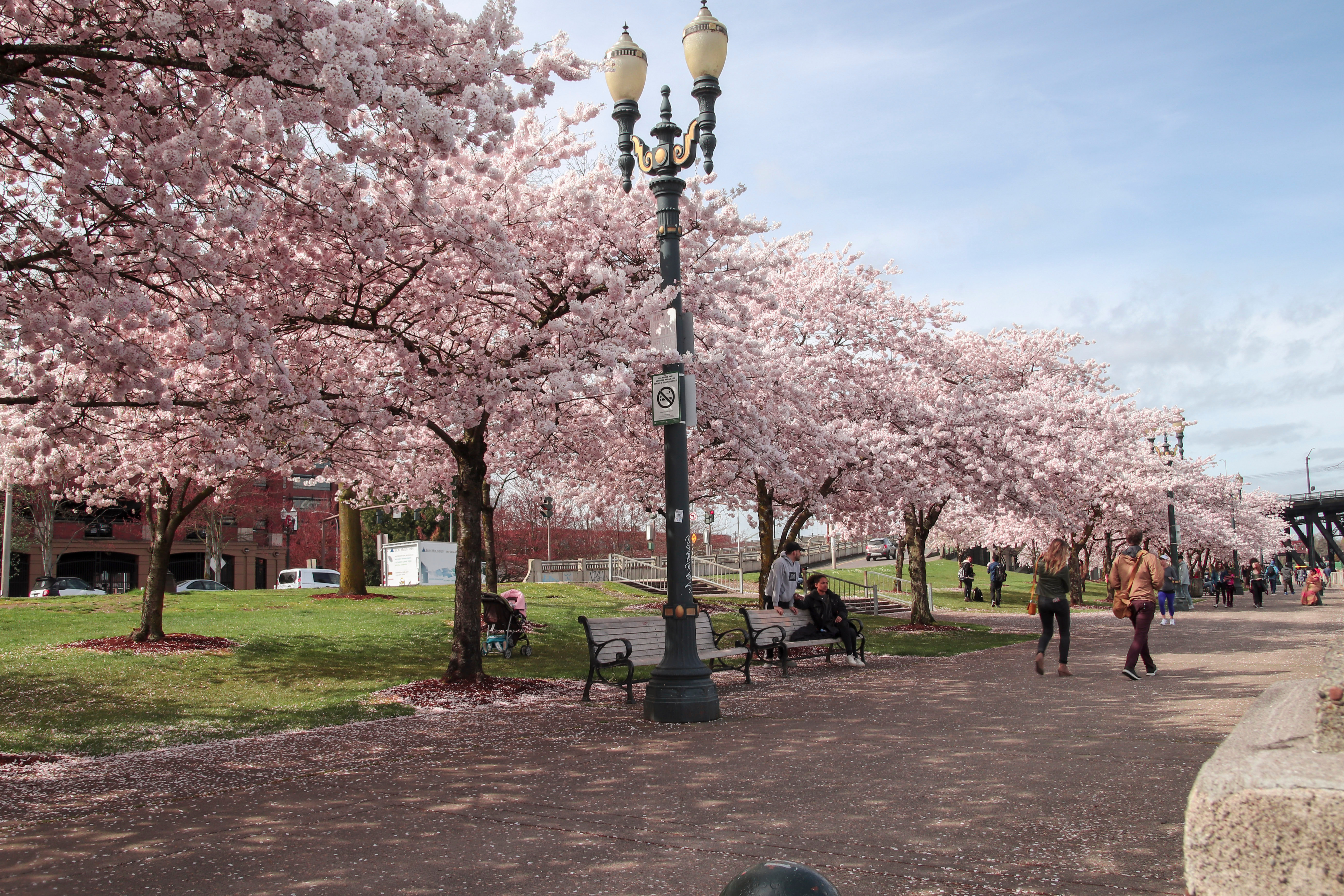 cherry-blossoms-in-Portland.jpg?mtime=20200129110524#asset:107817
