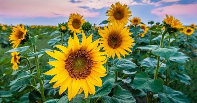 sunflowers.jpg?mtime=20200712181459#asset:108646
