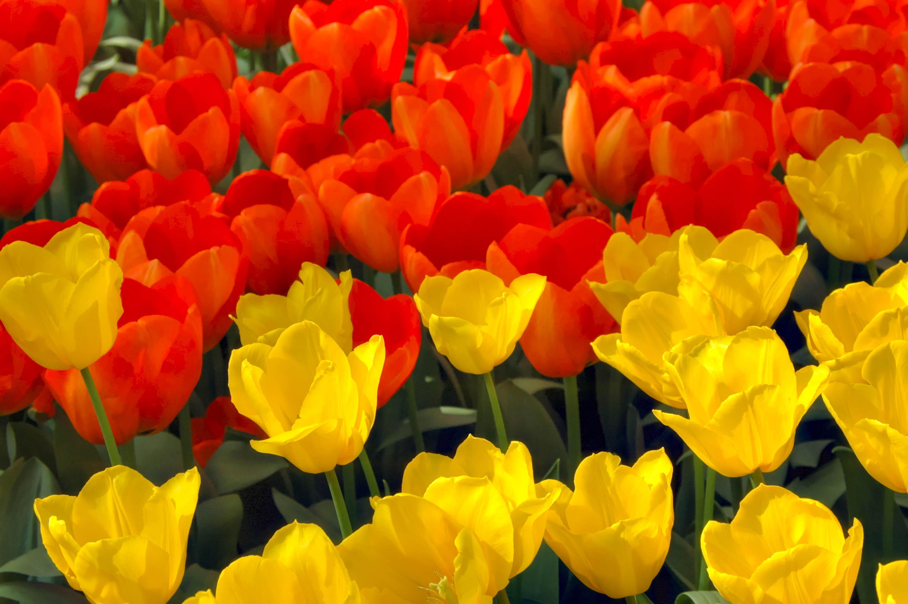 Tulips- keukenhof gardens-lisse, holland